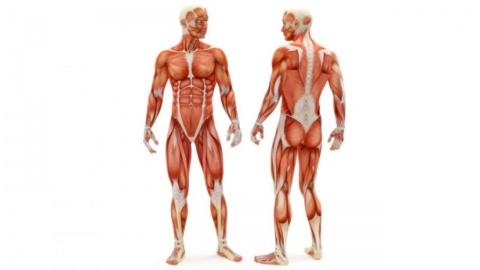 Анатомия человека курсовые, дипломные